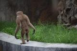 brown chimpanzee