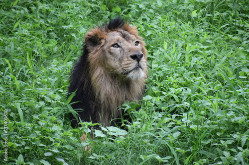 Canvas Lion Relaxing Asiatic Lion