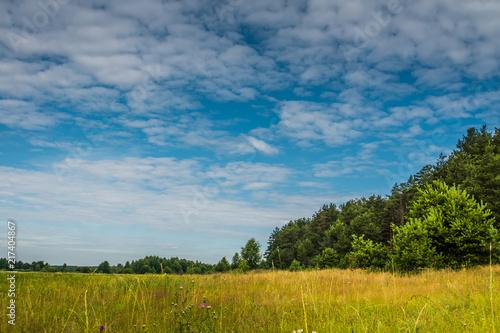 Sosnowy las nad niebieskim niebem
