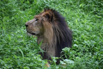 Relaxing Asiatic Lion