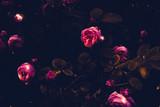 Pink climbing roses retro - 217405451