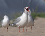 a sea gull with a red open beak and a flock of birds on a sandy beach