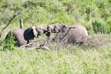 Zwei Elefanten Bullen kämpfen in der Wüste des Serengeti Nationalpark Tansania