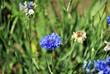Leinwanddruck Bild - Blue cornflower blooming on soft bokeh blurry background, top view
