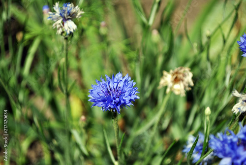 Leinwanddruck Bild Blue cornflower blooming on soft bokeh blurry background, top view