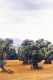 Landscape view of Olive Farm. - 217424496