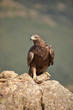 Golden eagle (Aquila chrysaetos) perched on a stone