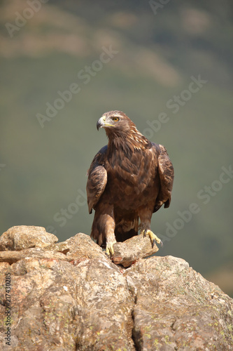 Foto Spatwand Eagle Golden eagle (Aquila chrysaetos) perched on a stone