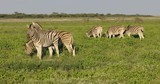 Plains zebras (Equus burchelli) feeding on the plains of Etosha National Park, Namibia - 217435676