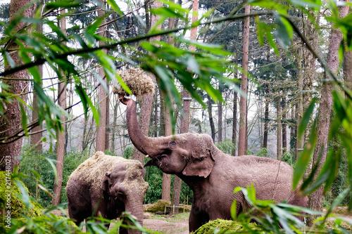 Poster The Asian elephant, or Asiatic elephant Elephas maximus