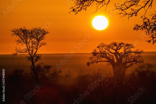 Fotobehang Bruin Baobab tree in sunrise landscape in Kruger National park, South Africa ; Specie Adansonia digitata family of Malvaceae