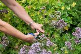Frau erntet Kräuter aus dem Garten, Gartenarbeit - 217452225