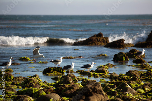 Seagulls in Los Angeles area