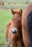 Portrait of an Icelandic foal, hiding at its mothers side