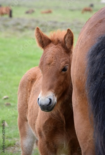 Canvas Paarden Portrait of an Icelandic foal, hiding at its mothers side