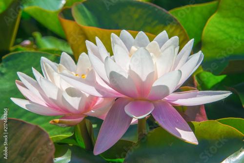 Foto Murales Pink water lilies