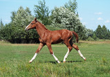 The elegant chestnut foal running a wide trot on a meadow