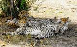 Famiglia di ghepardi in Africa - Tanzania