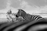 Zebra in bianco e nero - Africa Tanzania