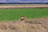 Lion and Gazelles