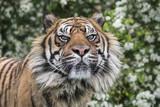 Tigers Portrait