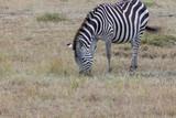 Zebra Eating