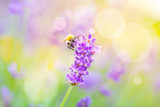 Summer Background - Wild bee on lavender flower