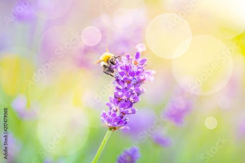 Summer Background - Wild bee on lavender flower  - 217479068
