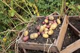 gute Kartoffelernte 2018