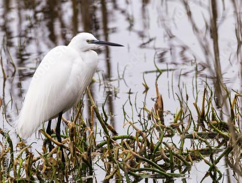 Foto Murales little egret