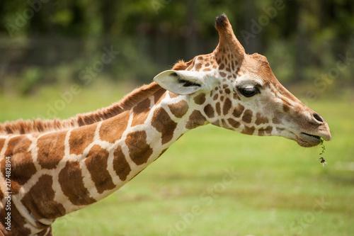 Poster giraffe profile
