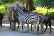 zebres dans leur enclos au zoo