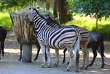 zebres dans leur enclos au zoo - 217484035