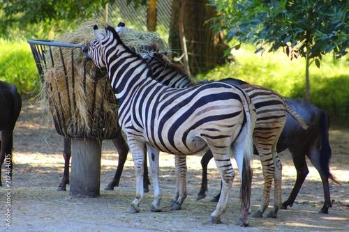 Poster zebres dans leur enclos au zoo