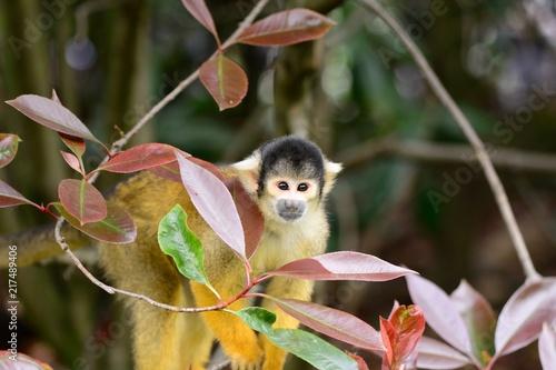Foto Spatwand Aap Common squirrel monkey (saimiri sciureus) in a tree