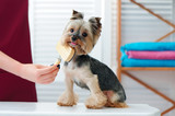Little yorkshire terrier dog getting combed out - 217498045