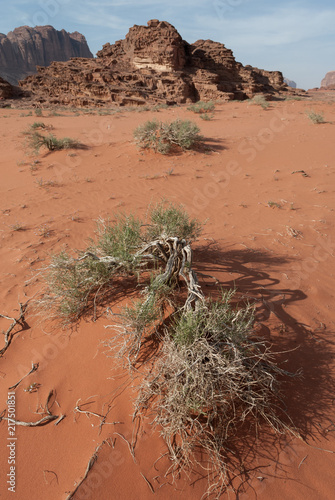 Foto Spatwand Zalm Small dry bush with green leaves on red dune with ragged mountains in the background, Wadi Rum, Jordan