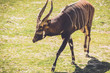 Quadro African Bongo (Tragelaphus eurycerus) walks along quietly on sandy grass in vintage garden setting