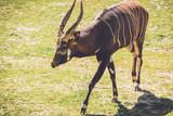 African Bongo (Tragelaphus eurycerus) walks along quietly on sandy grass in vintage garden setting