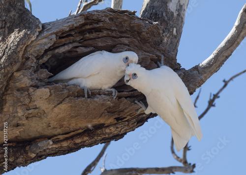 Foto Murales  little corellas at a nest in outback Australia.
