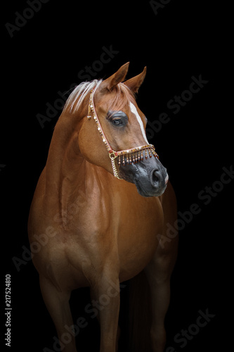 Canvas Paarden Beautiful chestnut arabian horse isolated on black background