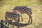 Zebra (Equus quagga) grazes on wild grass in sandy soil in a vintage garden setting - 217526447