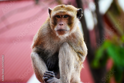 Foto Spatwand Aap Portrait of a brown macaque sitting on a roof in Hua Hin in Thailand, Asia