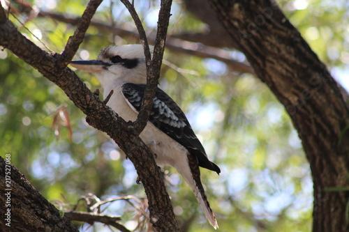 Foto Murales proud kookaburra in tree