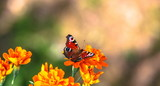 Butterfly on the flower blossoms - 217534244
