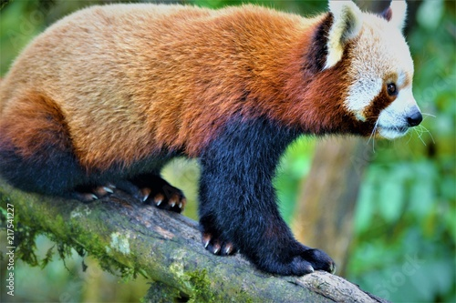 Canvas Panda Himalayan Red Panda
