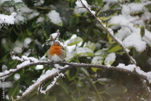 Foto Murales Robin in the snow