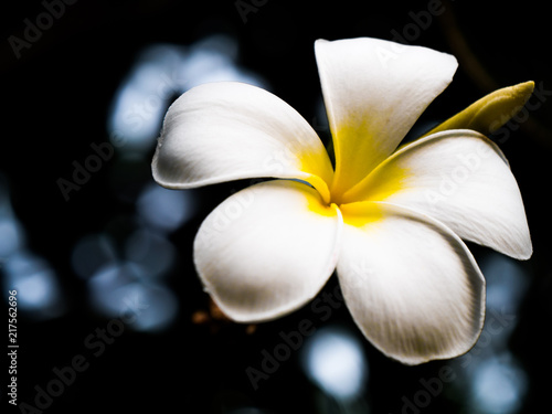 Canvas Plumeria White flower
