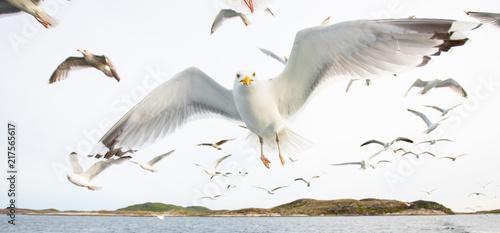 Foto Murales Norwegian Seagulls in air