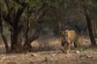Royal Bengal Tiger Habitat Ranthambore Tiger Reserve Rajasthan India